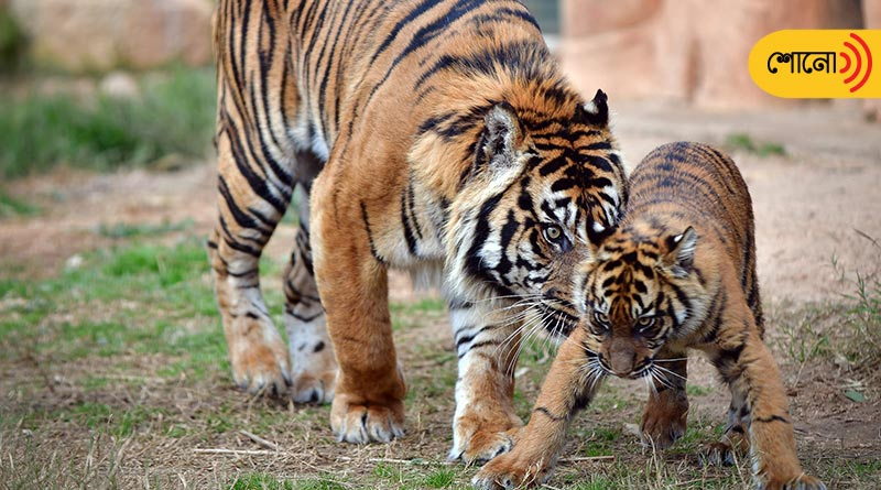 Bangla Podcast: a tiger becomes single father after the tigress died