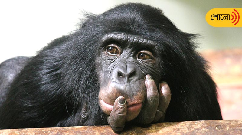 love affair between a woman and a chimpanzee astonishes everyone
