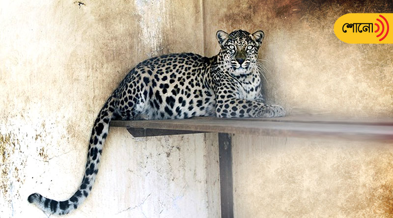 a different story of bonding between man and leopard in Rajasthan's Bera villeage
