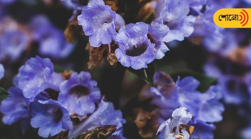 this blue flower named Kurinji blooms once in twelve years