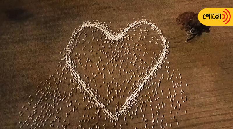 Australian farmer draws heart with sheep, video goes viral