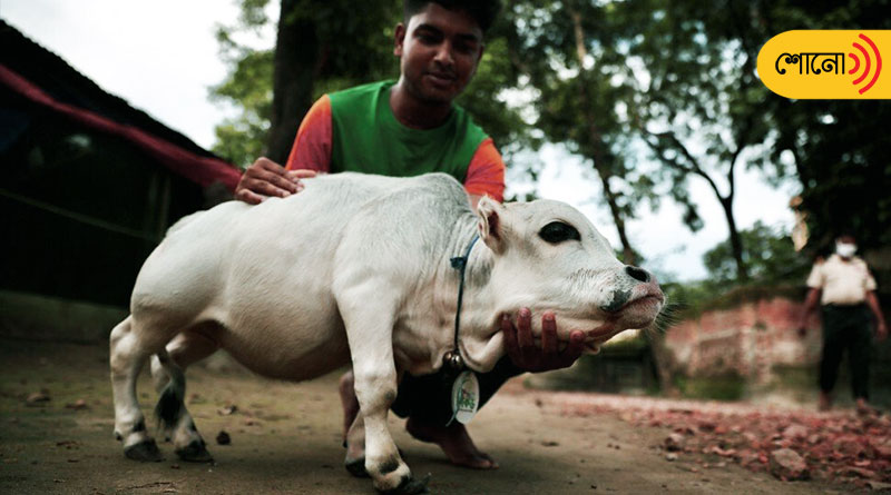 'Rani' is the shortest cow In the world By Guinness Records